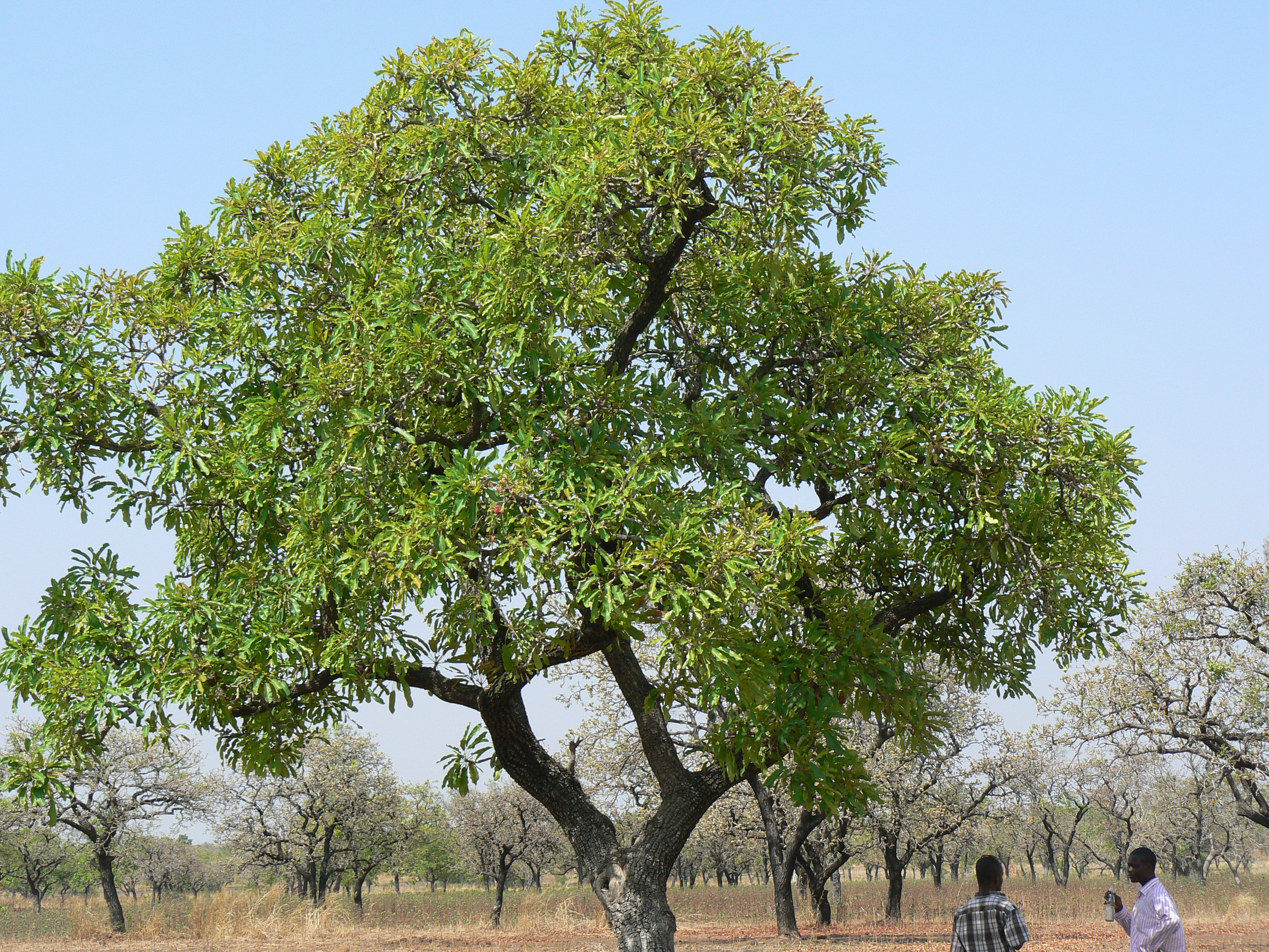 the sheanut tree the wonder tree bernice agyekwena s blog the sheanut tree